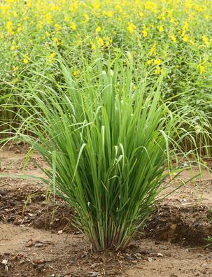 vetiver root uses medicinal