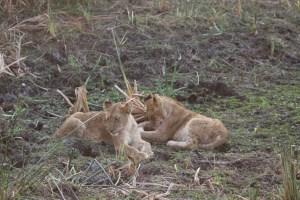 Lion Cubs_1