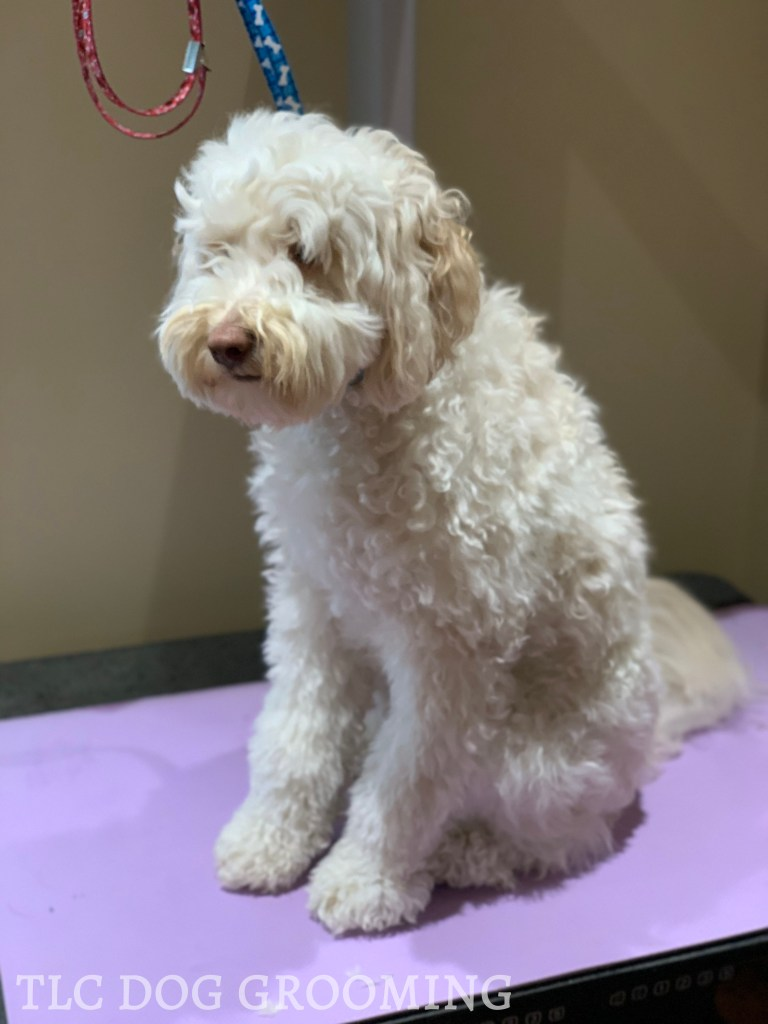 Archie the Goldendoodle