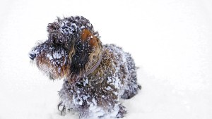 Prevent Snow and Ice Balls in Your Dogs Feed by TLC Dog Grooming
