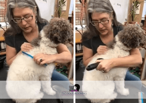 Combing and Brushing Emma the Poodle with Too Long Hair