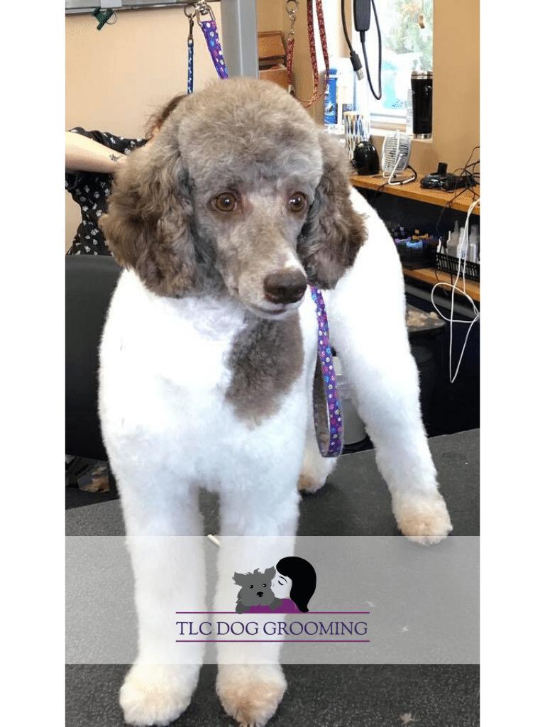 Fresh Groomed Emma the Poodle