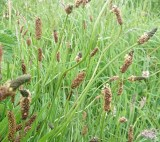 We found seedheads that can be fired high into the air