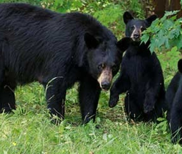 Have You Seen A Bear Report A Bear Sighting Here