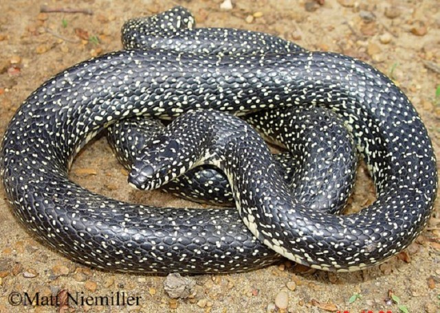 King Snake Tennessee
