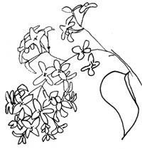 Lilacs line drawing C. Rosinski
