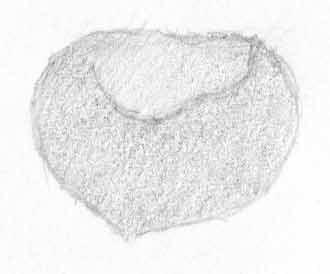 First shading of hazelnut C. Rosinski