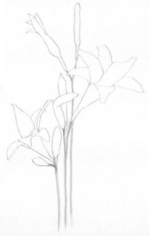 Daylilies line drawing C. Rosinski