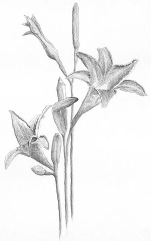 Daylilies line drawing with shading C. Rosinski