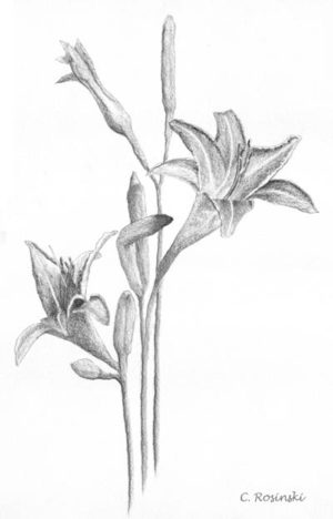 Daylilies line drawing with highlights C. Rosinski