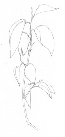 leaves tip of pencil drawing C. Rosinski