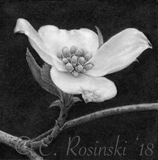 Dogwood flower drawing in graphite by C. Rosinski