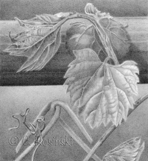 Grape leaves drawing four Rosinski