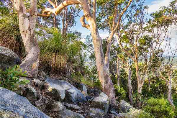 Mt Cooroora Gum Trees Art Photography Print