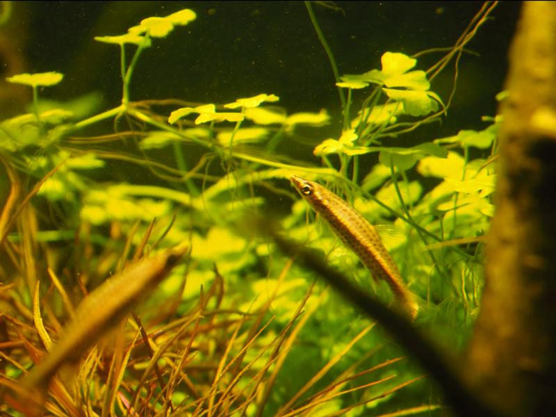 Salmler vor Pflanzen