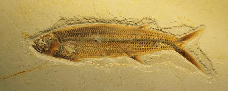 fossiler Fisch