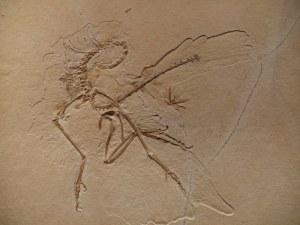 Archaeopteryx Nr. 11