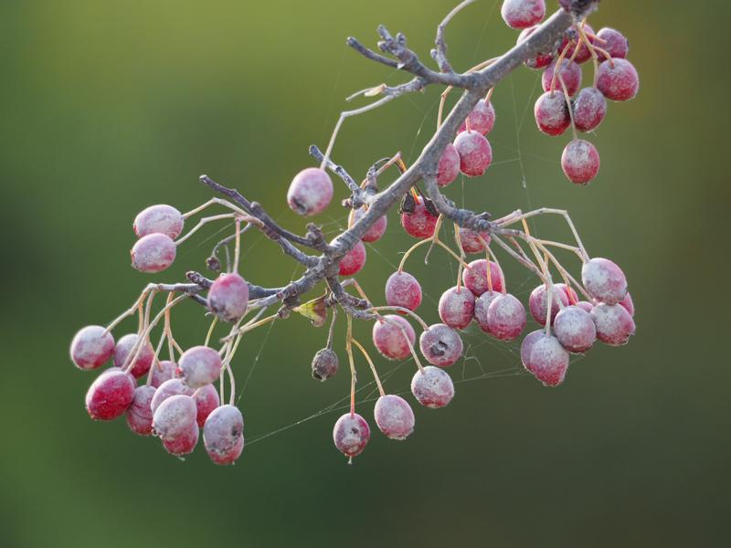 verstaubte Beeren