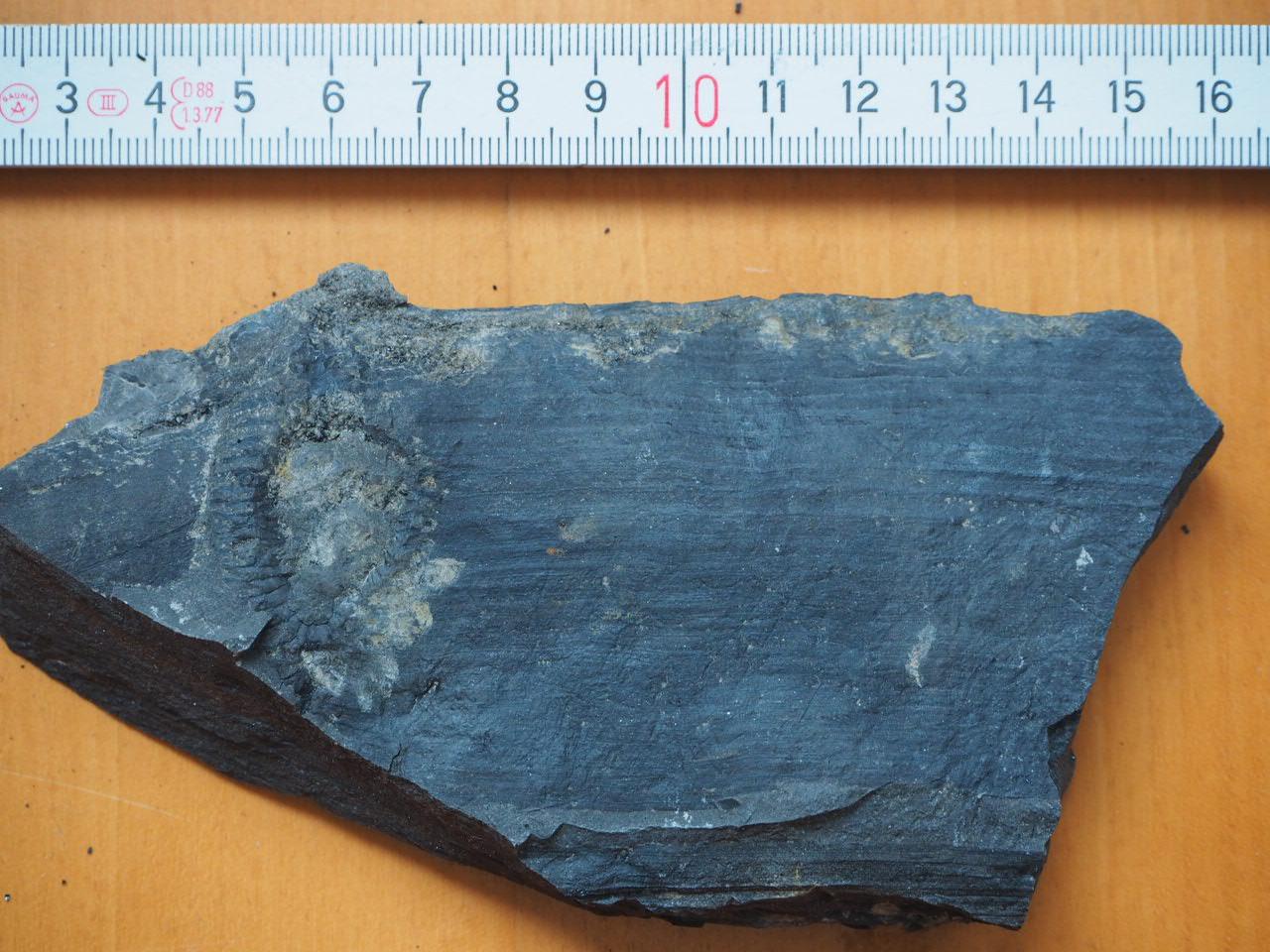 Schachtelhalm-Fossil