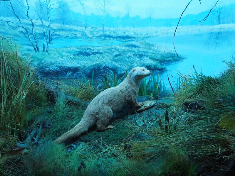 Diorama mit Fischotter im Naturhistorischen Museum Braunschweig