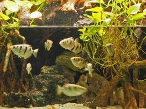 Offenes Aquarium mit Schützenfischen