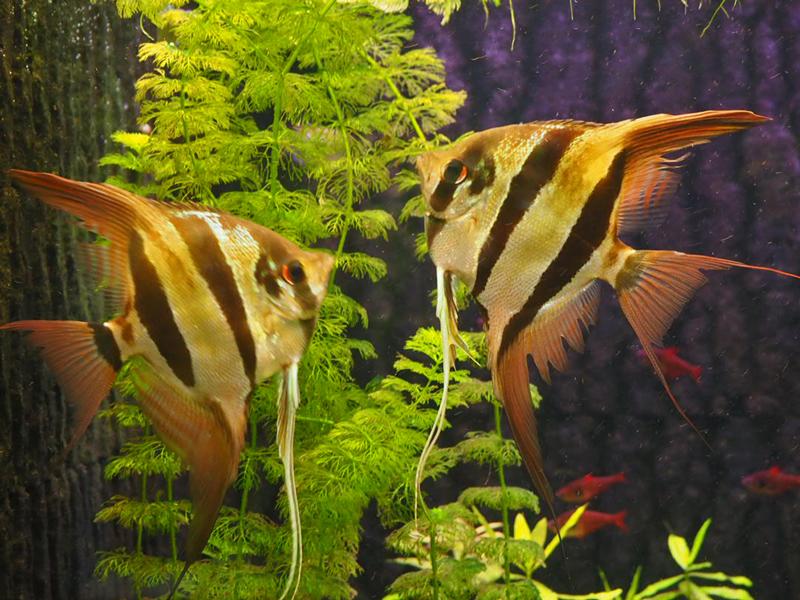 Zwei hohe Segelflosser <i>Pterophyllum altum</i>