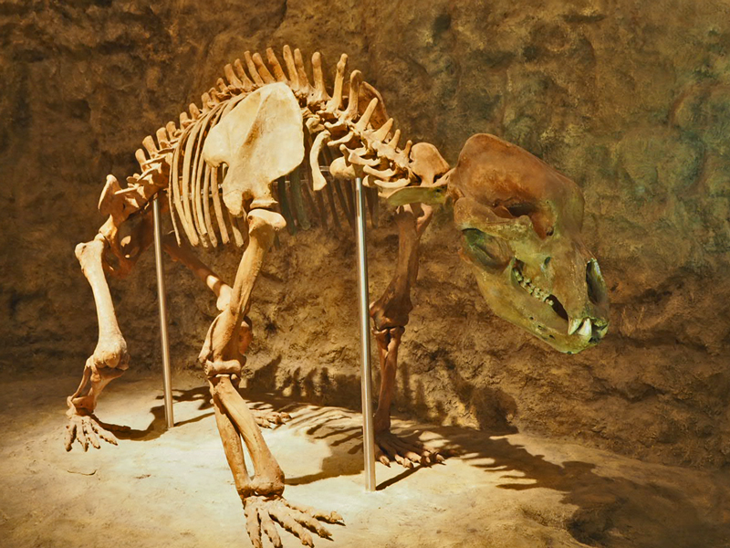 Skelett einer Höhlenbärin