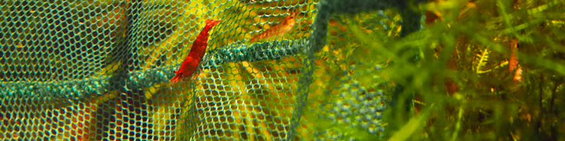 Einige Garnelen sitzen in einem Kescher, werden ins neue Aquarium freigelassen