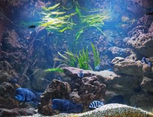 Tanganijkasee-Aquarium
