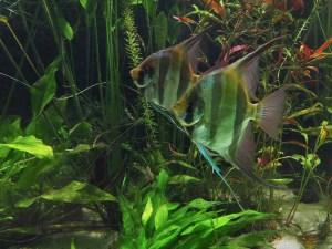 zwei Altum-Skalare in einem bepflanzten Aquarium