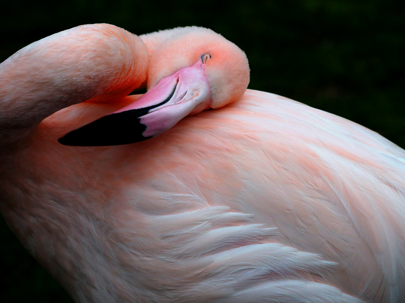 heller Flamingo vor dunklem Grund