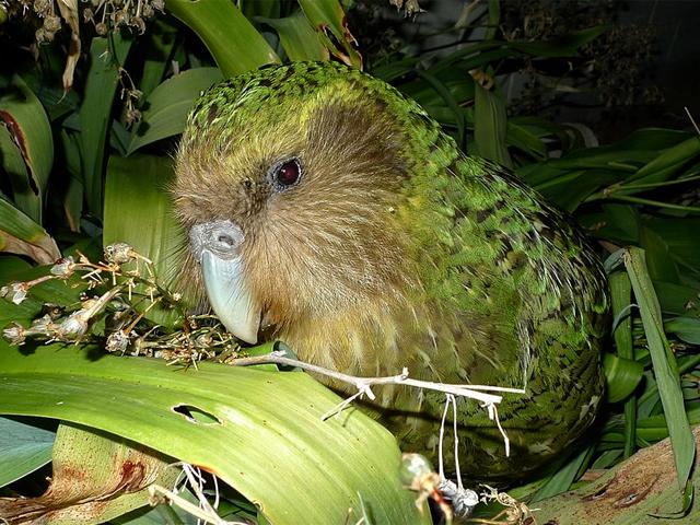 Kakapo im natürlichen Lebensraum