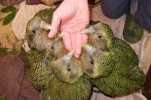 Fünf Kakapo-Küken beißen sich an einer Hand fest.