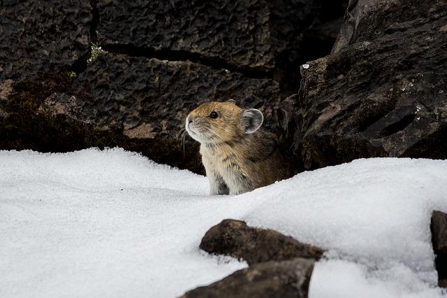 Ein Pfeifhase im Schnee