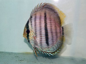 Symphysodon discus, Foto Biotopica, CC 4.0