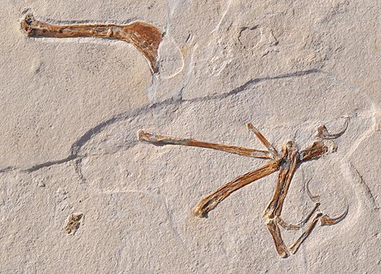 Steinplatte mit Oberarmknochen und Handknochen des neu beschriebenen Vogels