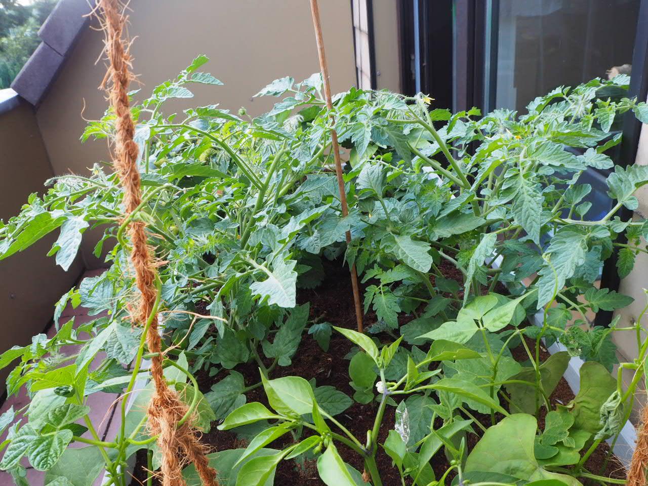 Das Balkon-Hochbeet mit Tomatenpflanzen