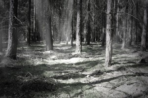 Forest in Evening