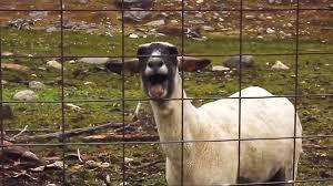 screaming goat