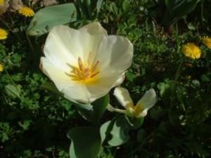stesso bulbo, tulipano doppio con gambi separati