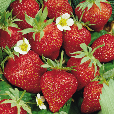 A Strawberry Is Not A Berry
