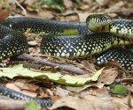 King snake on ground