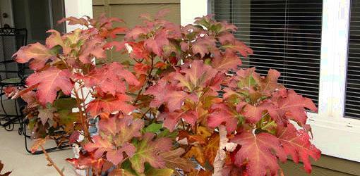 Snow Queen Oakleaf Hydrangea Fall Color