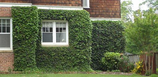 House with ivy growing up the brick walls.