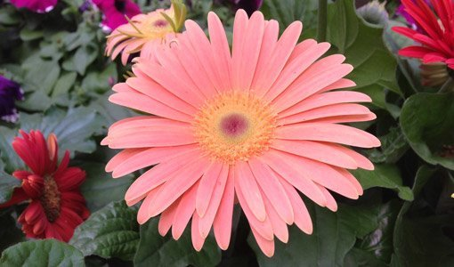 How to Grow Gerbera Daisies from Seed   Today s Homeowner Beautiful Gerbera daisy flowers can brighten up any garden