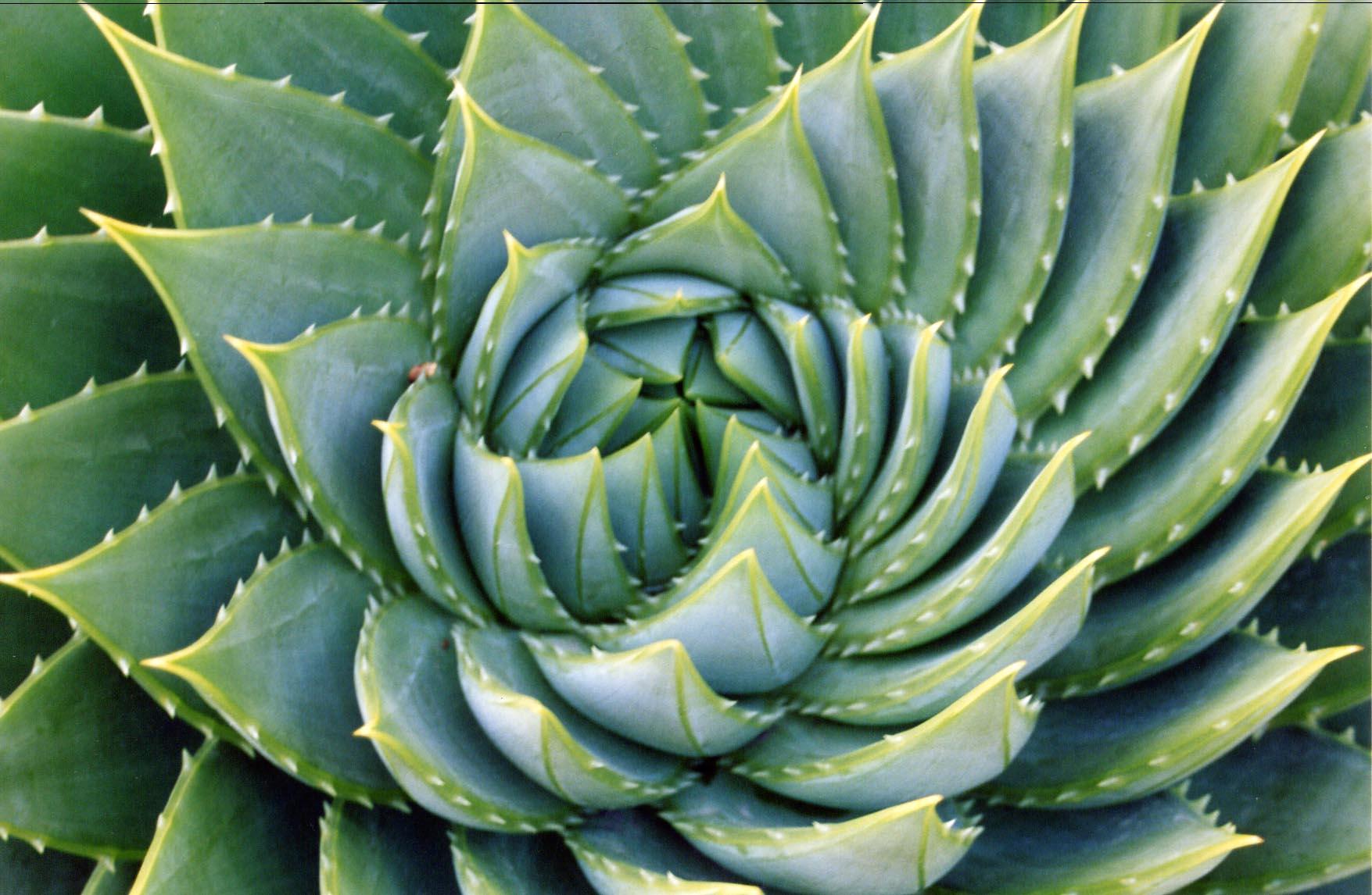 Aloe leaves in a fibonacci spiral. Image credit Kai Schrieber
