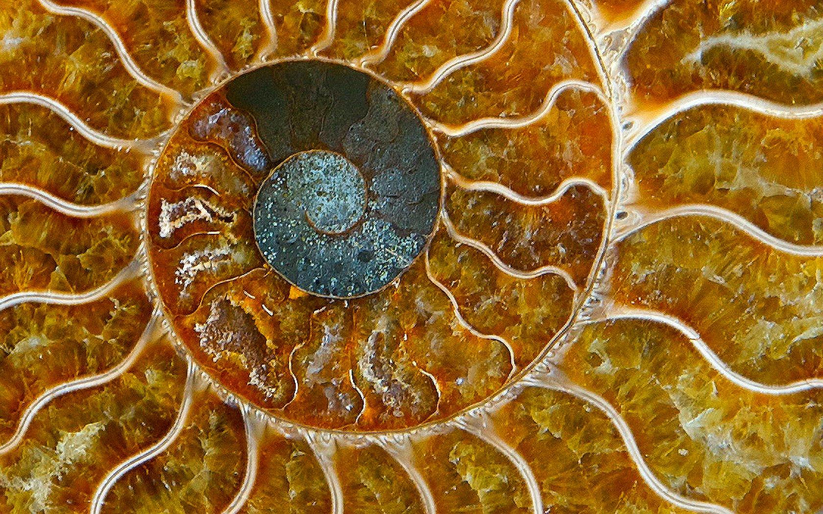 Polished ammonite fossil displaying a fibonacci spiral. Image Credit wplynn via Flickr.