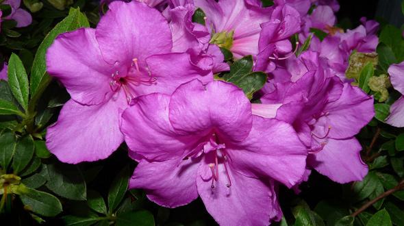 Azalea blooming purple flowers Marietta Ga yard