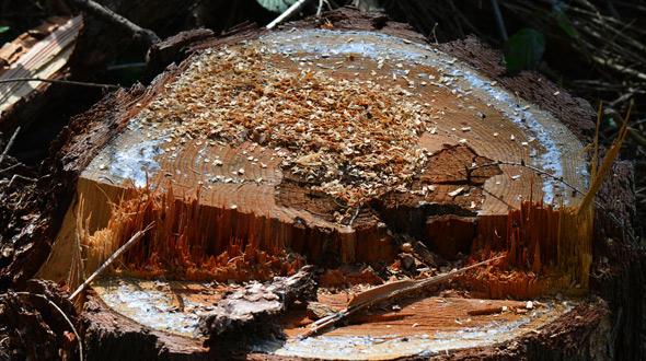 Kill tree roots by cutting tree down