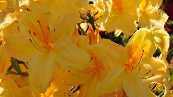 Yellow azalea blooms in Marietta Ga garden